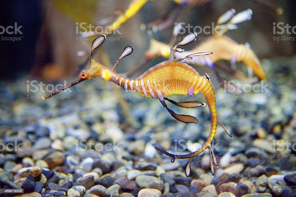 Weedy Seadragon stock photo