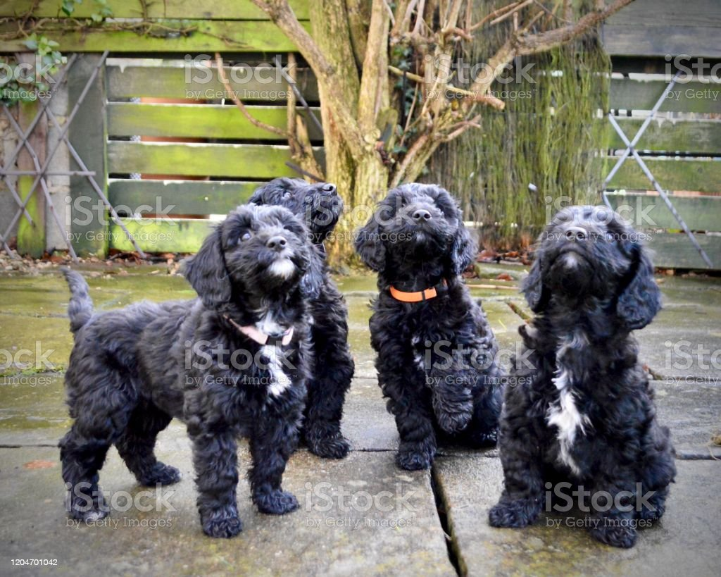 8 Week Cockapoo Puppies Black And White Stock Photo Download Image Now Istock