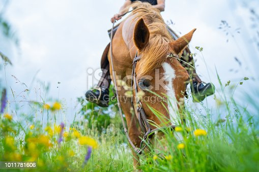 face of chestnut mare horse grazing in flower meadow part of female rider sitting on horse blurred, shallow focus