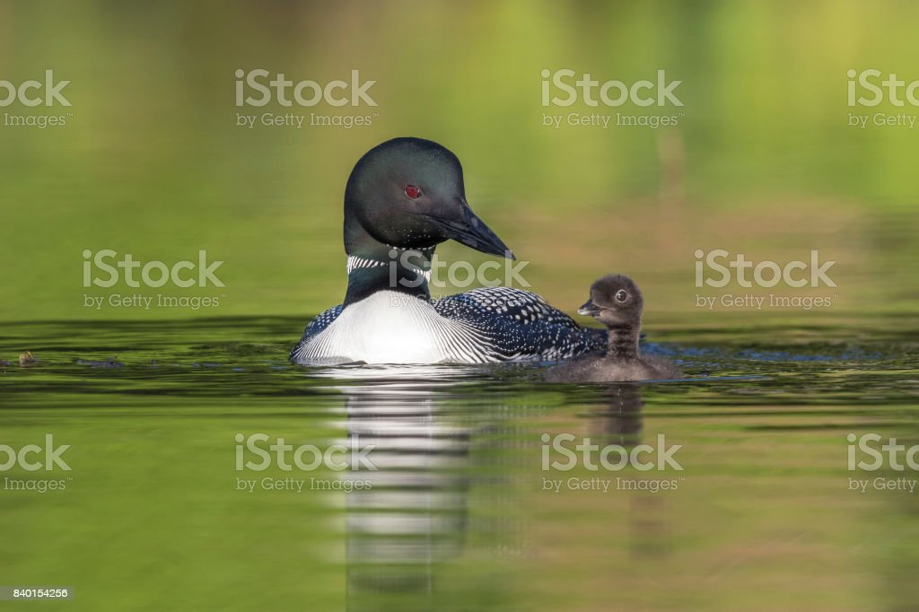 A week-old Common Loon chick practising its swimming skills as its mother looks on stock photo
