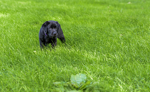Verry young black Labrador Retriever puppy standing in high grass. Pup is 7 weeks old.