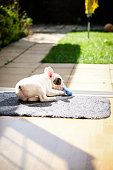 9 weeks old Pied French Bulldog puppy chewing her toy by the open door on the doormat