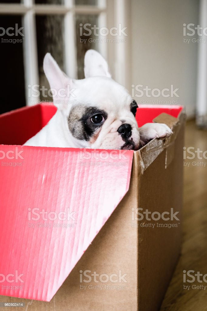 9 Weeks Old Pied French Bulldog Puppy In A Gift Box Stock Photo Download Image Now Istock