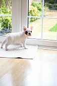 Side view of Pied French bulldog puppy waiting at the door to go outside for toilet
