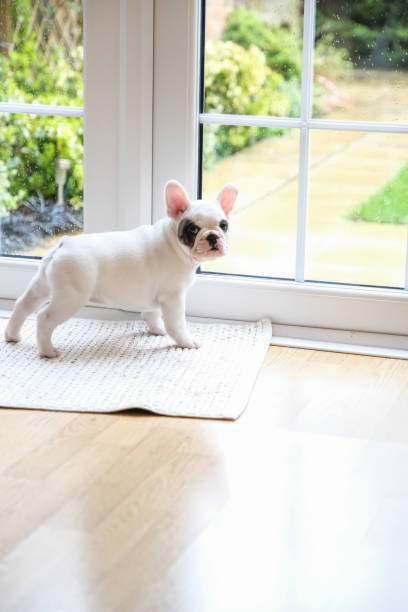 8 weeks old Pied French Bulldog Puppy waiting at the door to go outside Side view of Pied French bulldog puppy waiting at the door to go outside for toilet french bulldog stock pictures, royalty-free photos & images