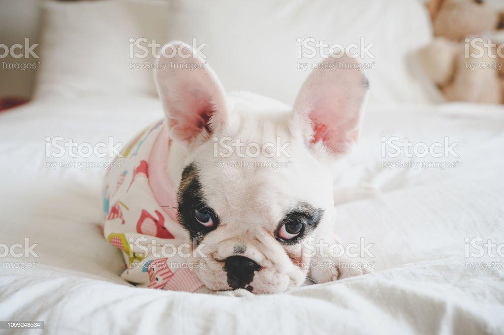 8 Wochen Alt Pied Französische Bulldogge Welpen Tragenden Pyjamas Im