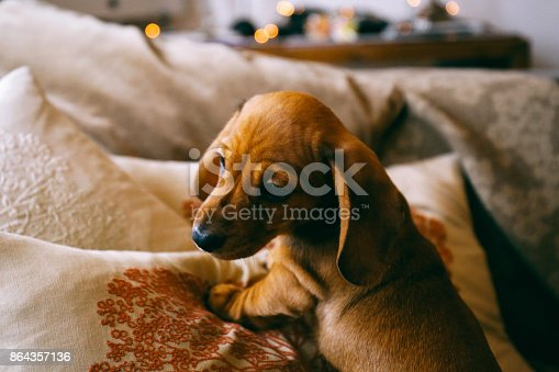 istock 8 weeks old smooth brown dachshund puppy climbing over cushions 864357136