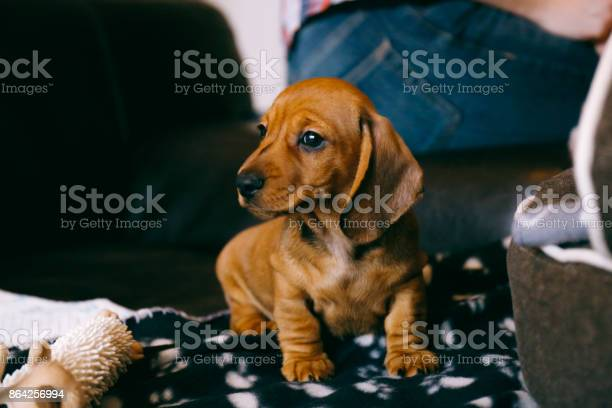 Weeks old smooth brown dachshund puppy sitting on a brown leather on picture id864256994?b=1&k=6&m=864256994&s=612x612&h=rbp4qiz0lqbtk3ep2pybvfxdme23kqk wjvykwa0zim=