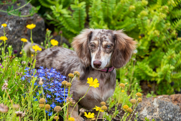 Weeniedog Dapple Miniature Dachshund Doxie Puppy Flowers Spring stock photo