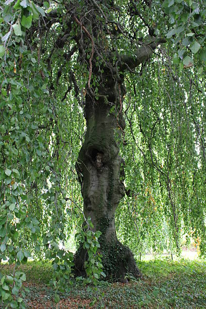 Weeping Beech Tree trunk stock photo