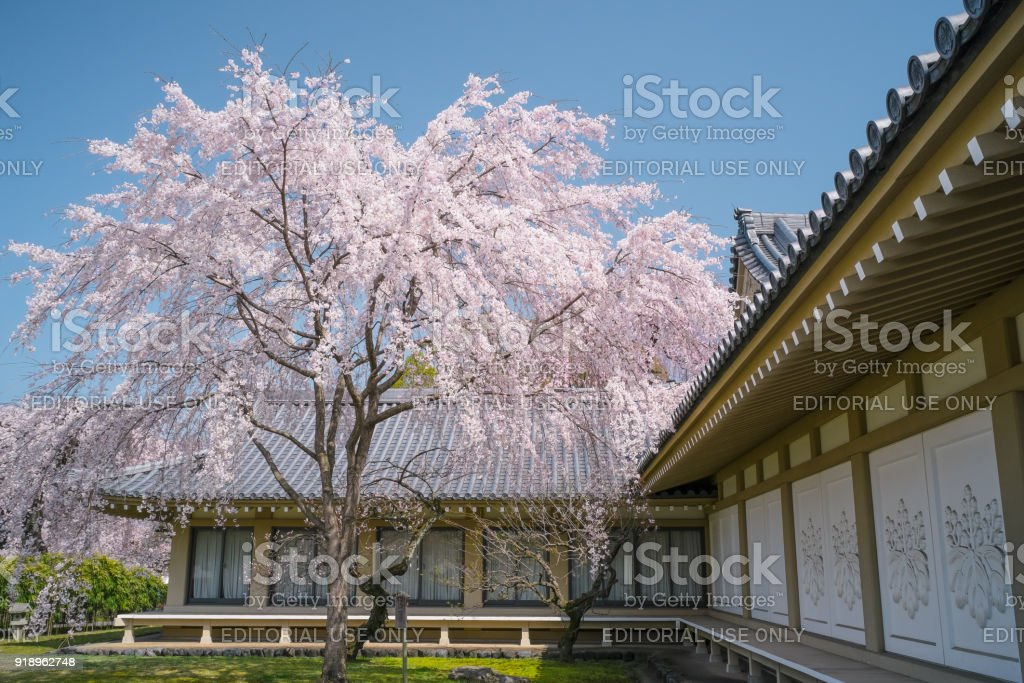 Weeping Cherry Blossom of Daigoji Temple (Daigo-ji) during the Cherry Blossom season. stock photo