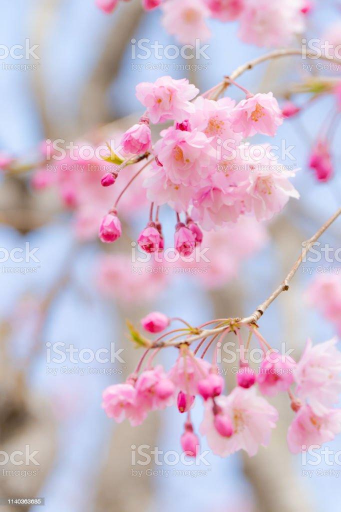 しだれ桜 (枝垂桜) 茨城県.(選択的フォーカス) ストックフォト