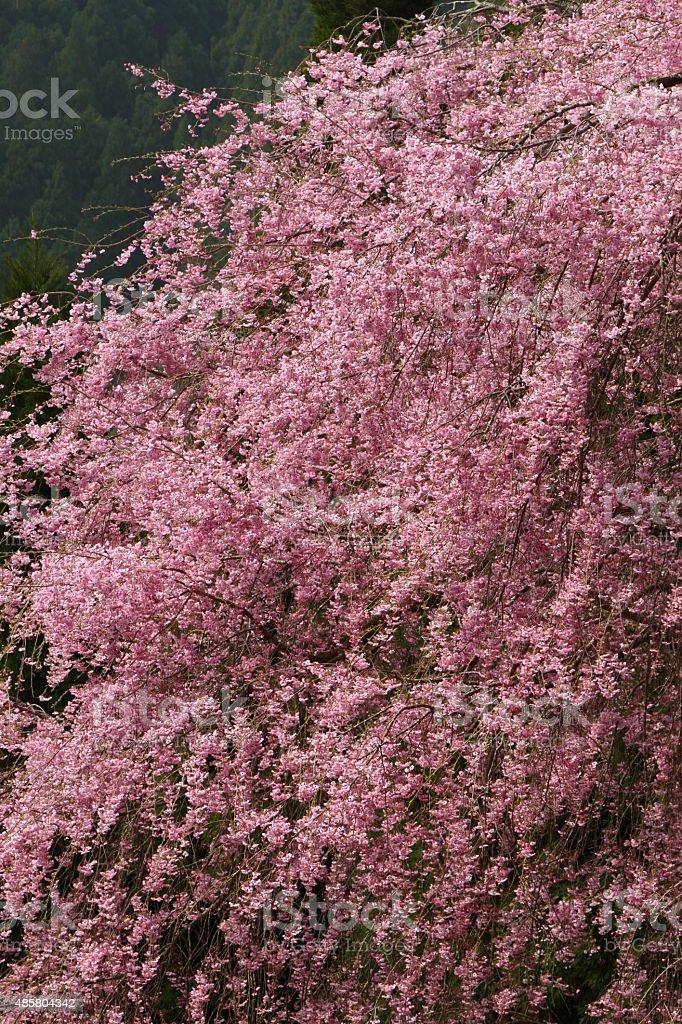 商品桜の ロイヤリティフリーストックフォト