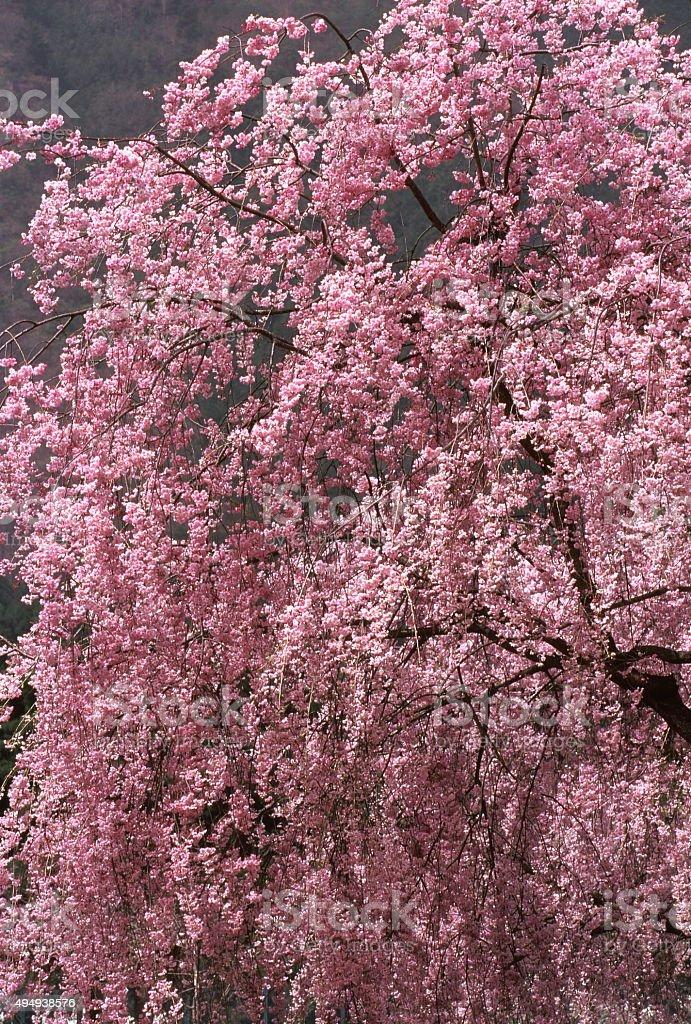 商品桜の ストックフォト