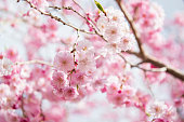 Weeping cherry in blossom