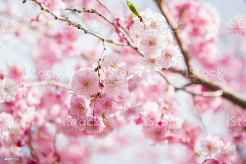 Weeping cherry in blossom stock photo