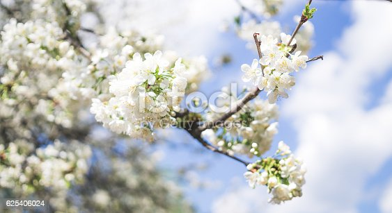 istock Weeping cherry tree and the blue spring sky 625406024