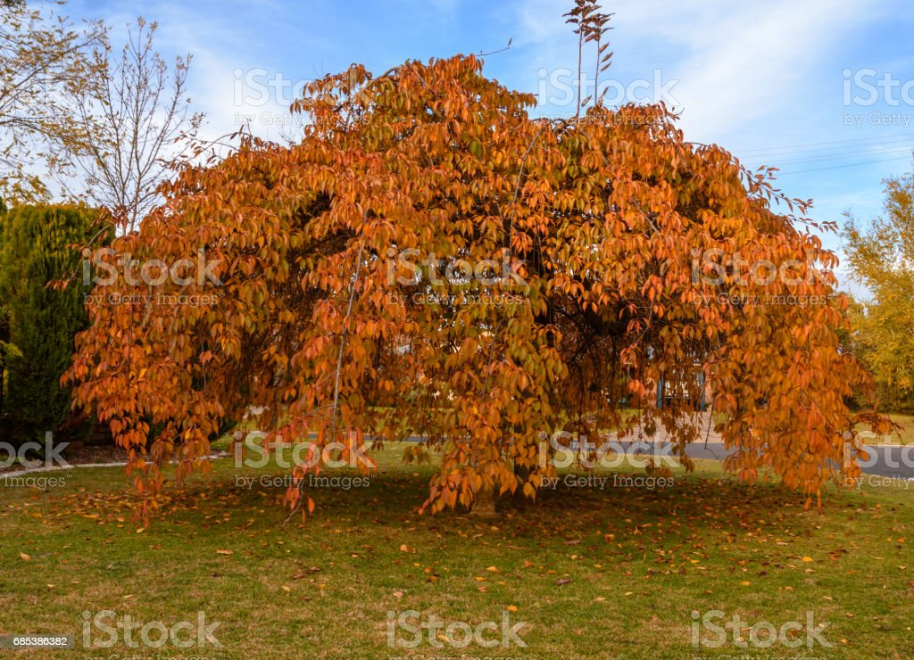 Weeping Cherry Tree in Autumn stock photo