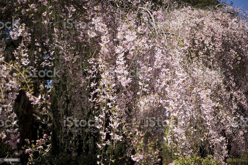 weeping cherry tree stock photo