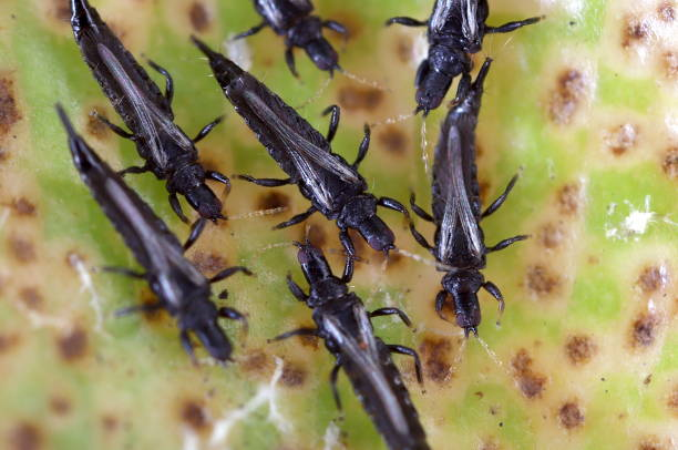 Weeping Fig Thrips (Thysanoptera; Gynaikothrips uzeli) Native to Asia, these tiny pests of Ficus plants are now found in the southern USA. They create galls out of leaves to house their colonies. thysanoptera stock pictures, royalty-free photos & images