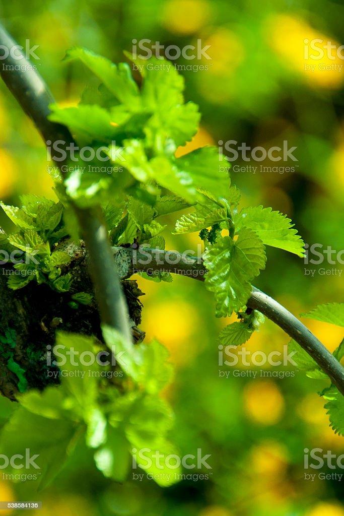 Prunus de amoreira folhas de Árvore jovem - fotografia de stock