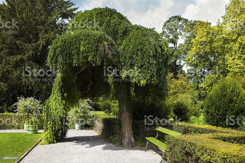 Weeping tree, royalty-free stock photo