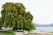 ニュージーランドのサザン アルプスでレイク ・ ワナカのしだれ柳