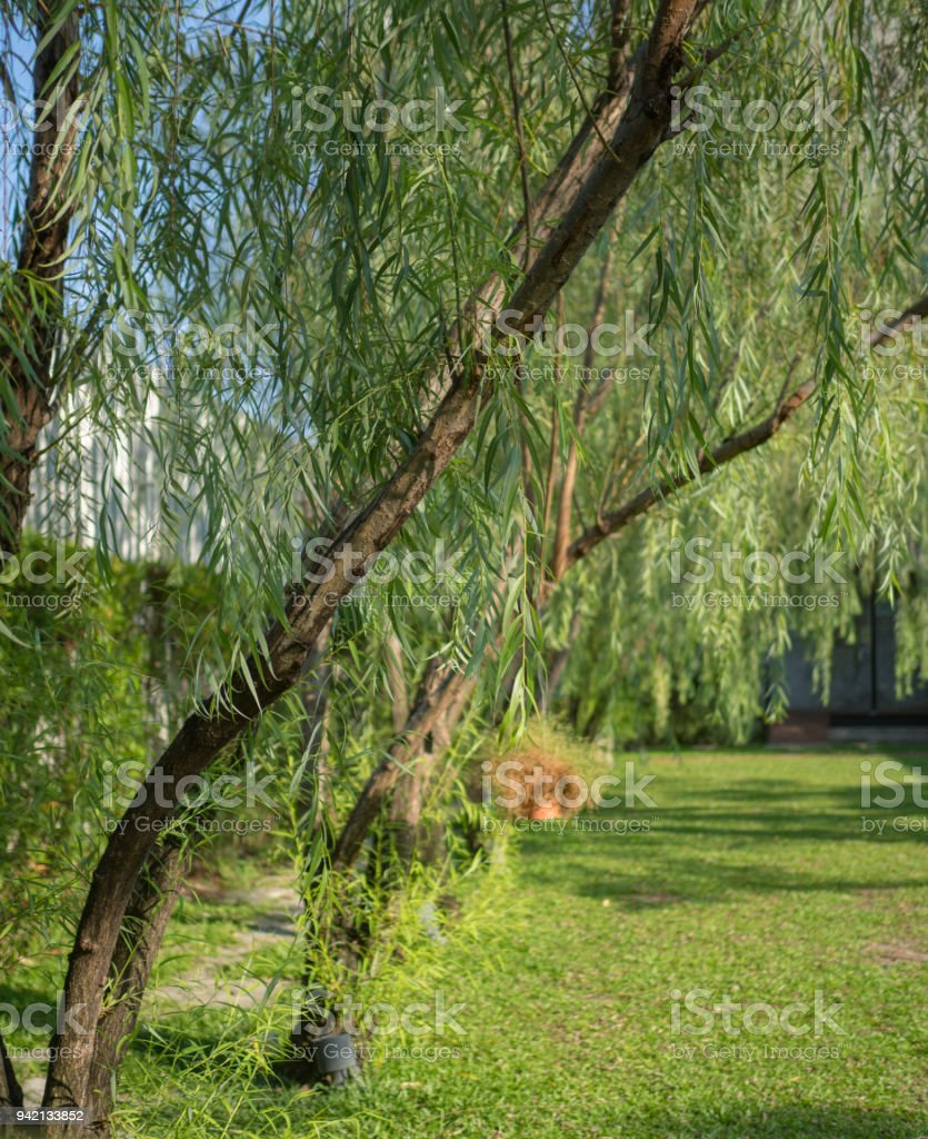 Weeping willow background in the garden stock photo