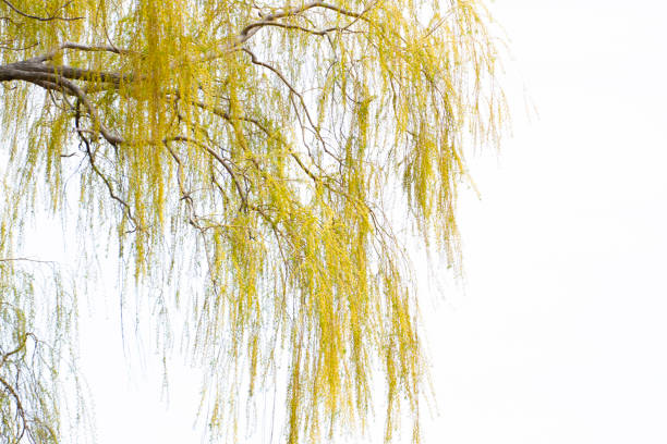 Weeping Willow Branches stock photo
