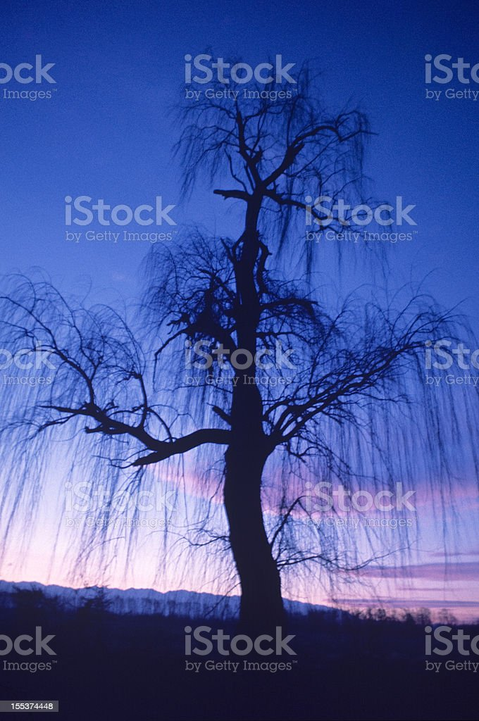 Weeping willow ghostly royalty-free stock photo
