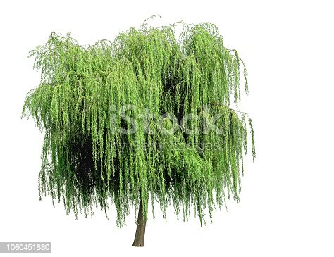 The willow, with its drooping green branches, is used for ornament in damp places.
