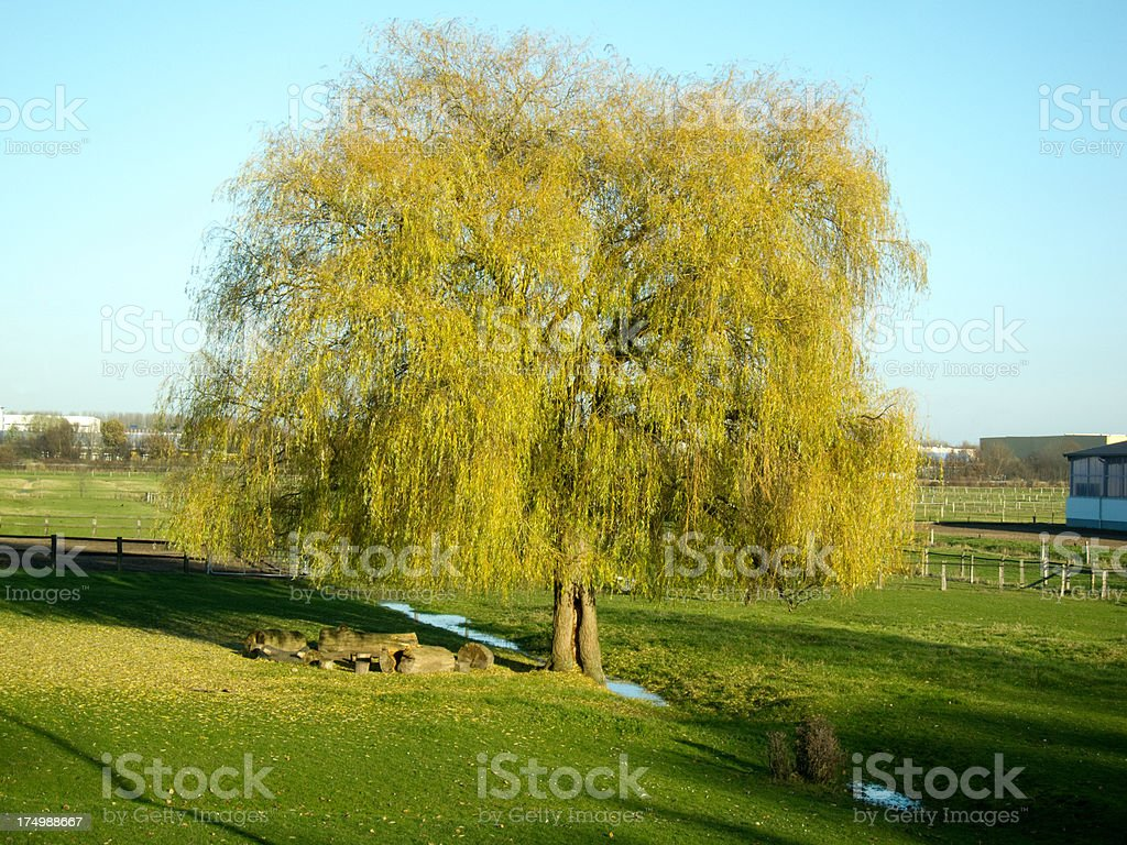 weeping willow royalty-free stock photo