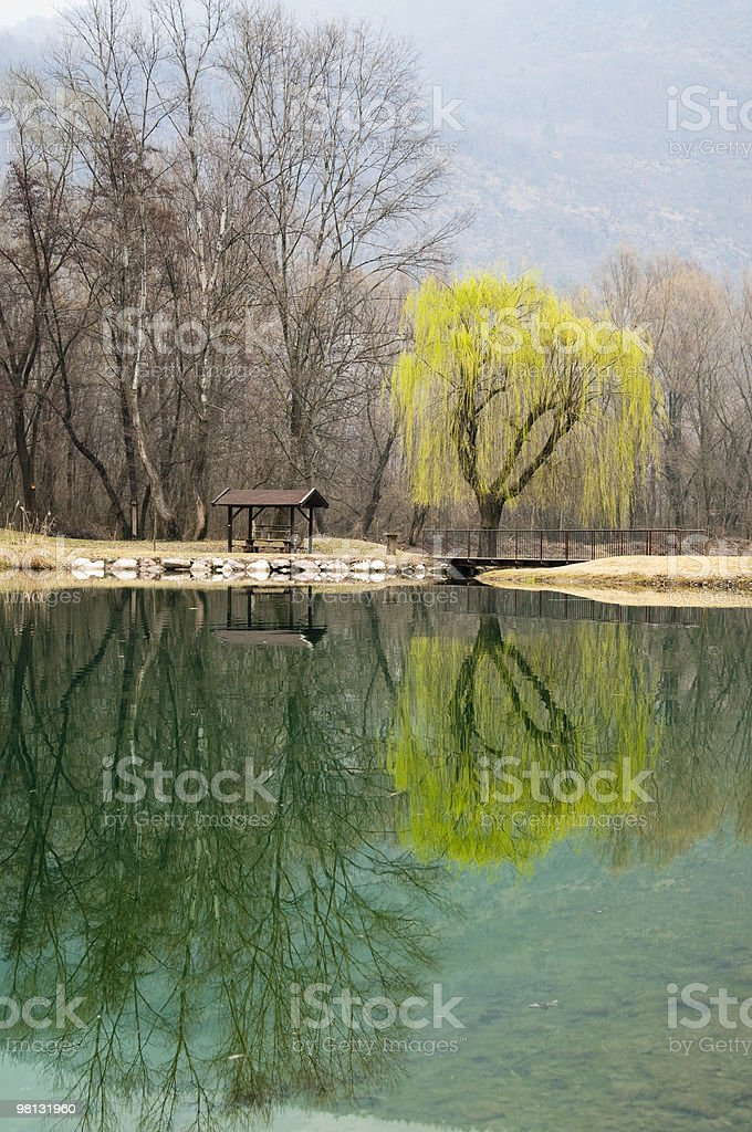 Weeping willow reflected in the lake water royalty-free stock photo