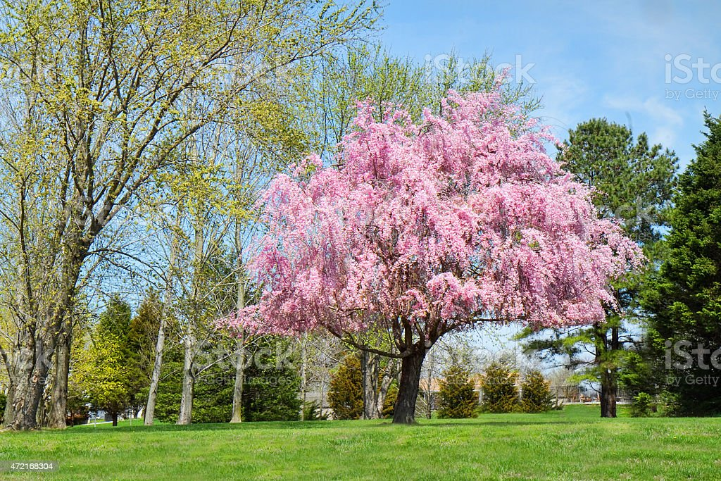 Weeping willow tree in full bloom stock photo more pictures of weeping willow tree in full bloom royalty free stock photo mightylinksfo