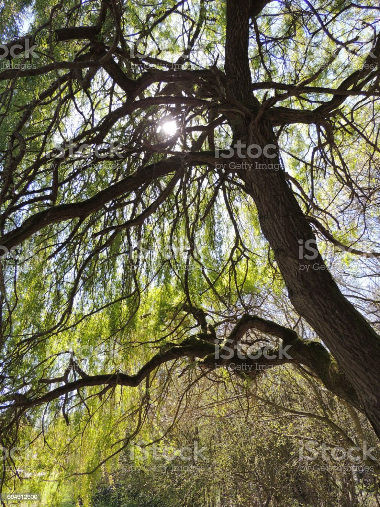 Weeping Willow Tree in Spring foto stock royalty-free