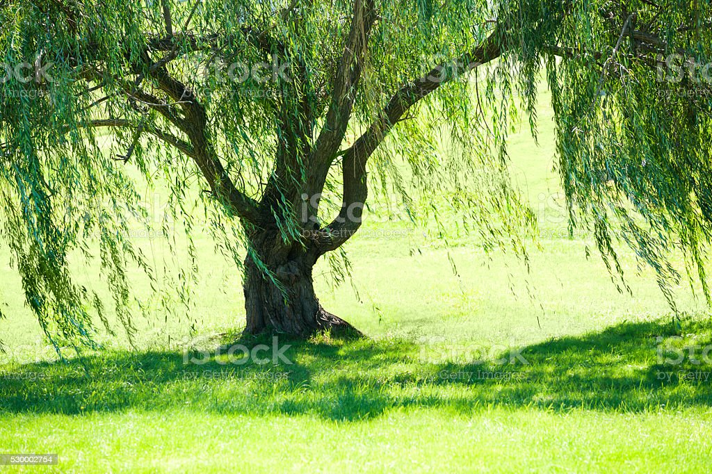 Weeping willow tree in summer stock photo
