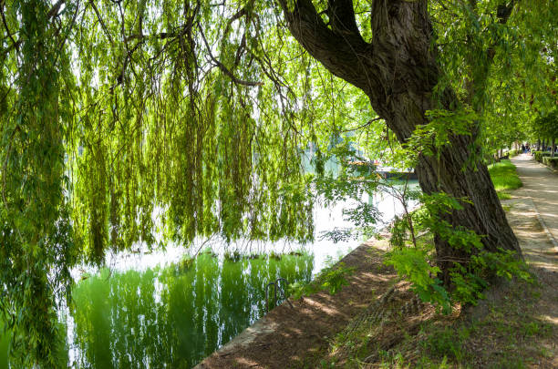 A weeping willow tree on the bank of the river A weeping willow tree on the bank of the Marne river and its branches falling like a curtain till touching the water marne stock pictures, royalty-free photos & images
