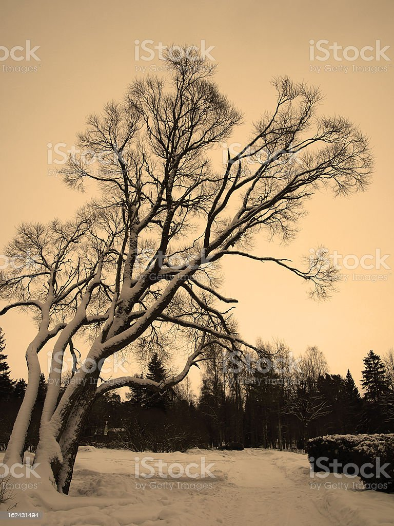 Weeping willow tree royalty-free stock photo