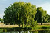 シダレヤナギツリー