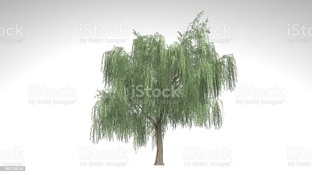 Weeping Willow tree with green leaves on white background stock photo