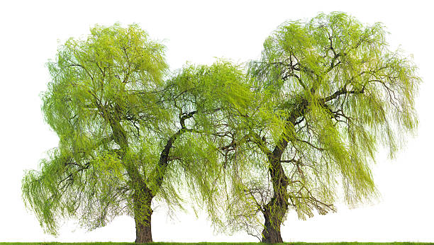 Weeping willow trees (Salix babylonica) in spring isolated on white. stock photo