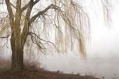 シダレヤナギで misty 湖