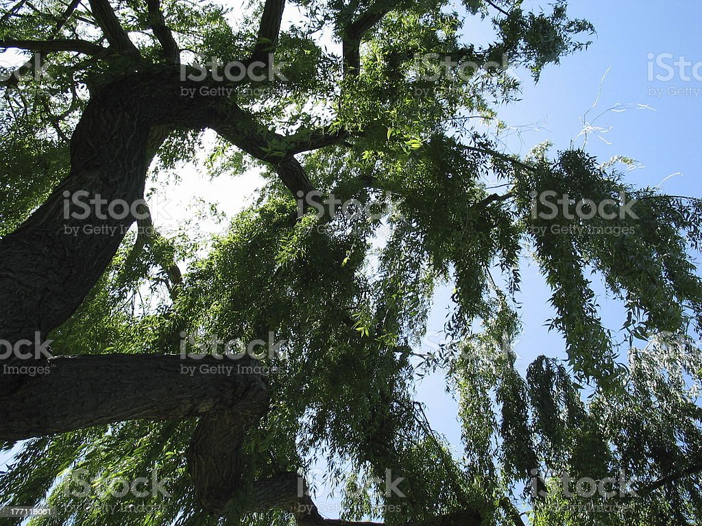 Weeping Willow with Sun and Sky royalty-free stock photo