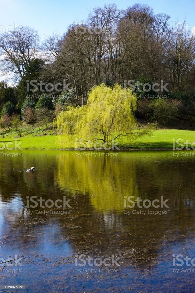 Weeping willows reflection on a lake stock photo