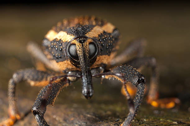 Weevil closeup with great eyes stock photo