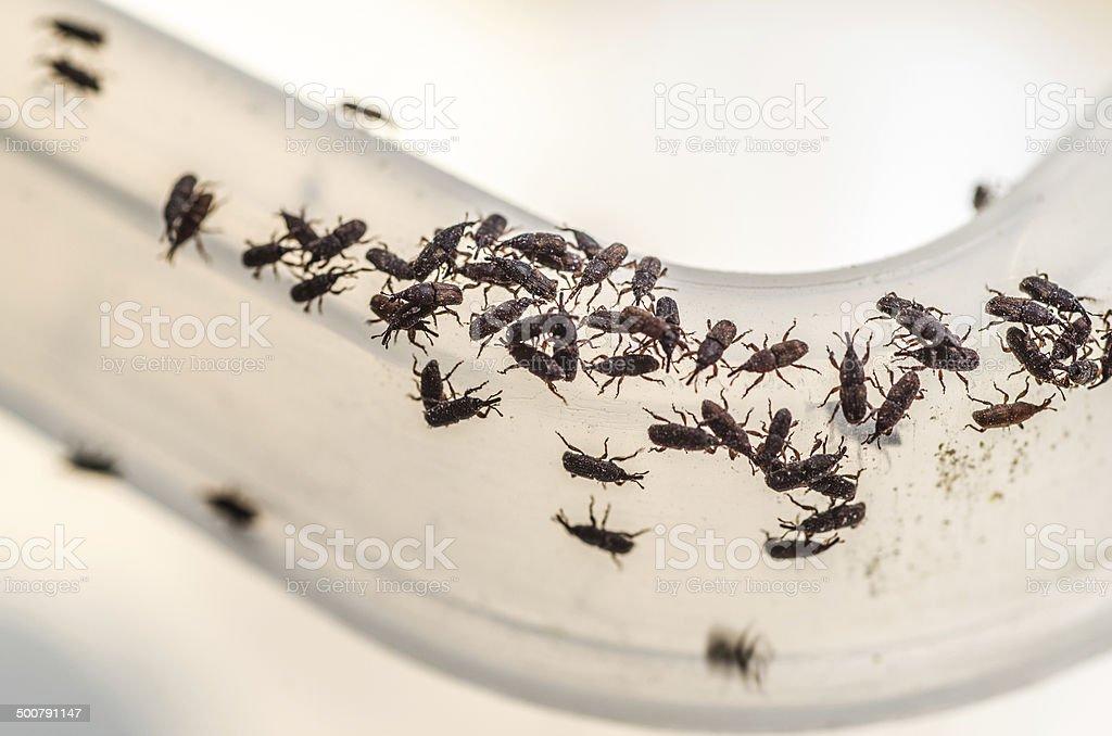 Weevil destroys rice stock photo