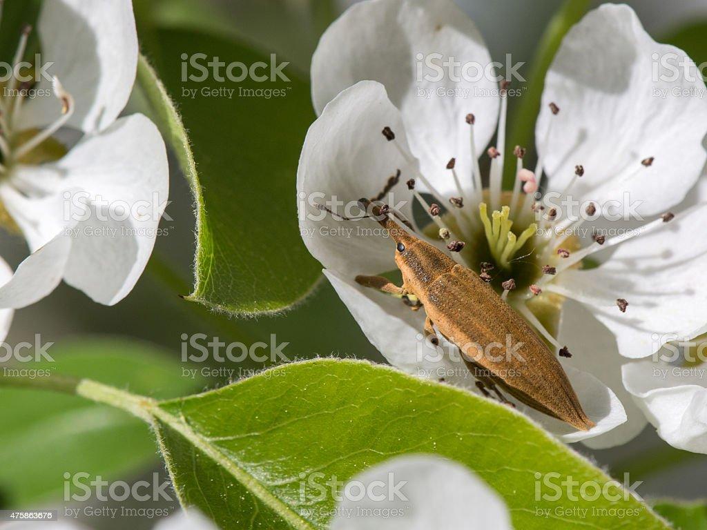 Weevil frachnik beetle (Lixus) stock photo