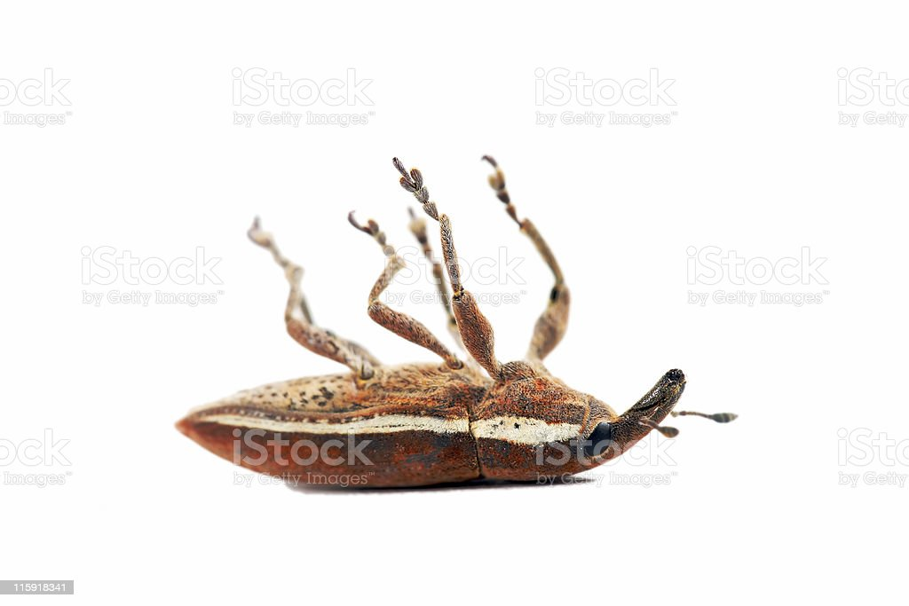 Weevil playing dead 01 stock photo