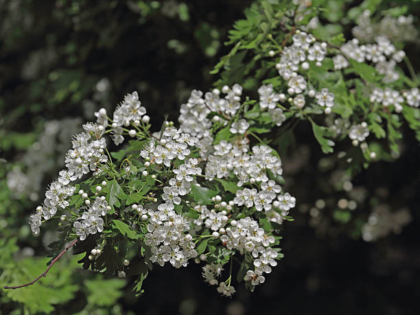 Hawthorn maple – Foto