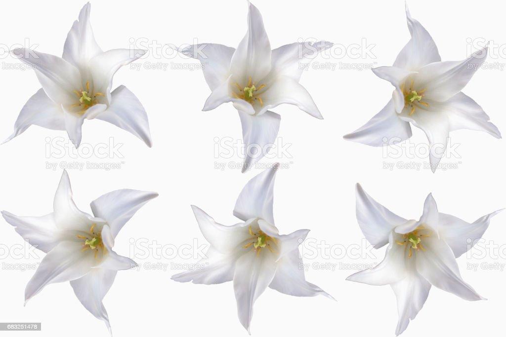 Weiße Tulpen mit weißen Hintergrund freigestellt royalty-free 스톡 사진
